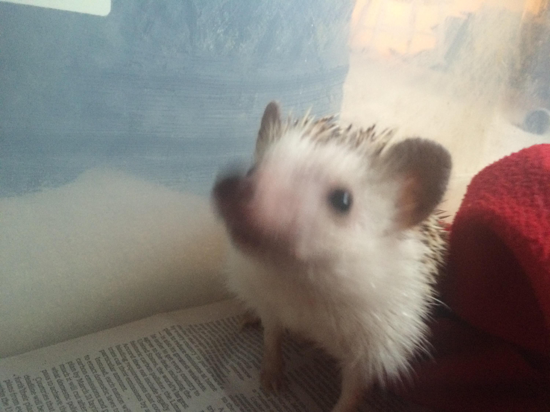 Distillery Hedgehogs
